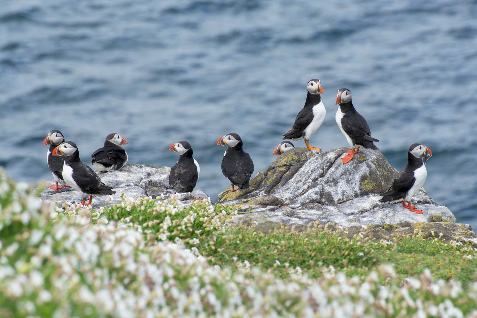 Atlantic Puffin - Fratercula Artica
