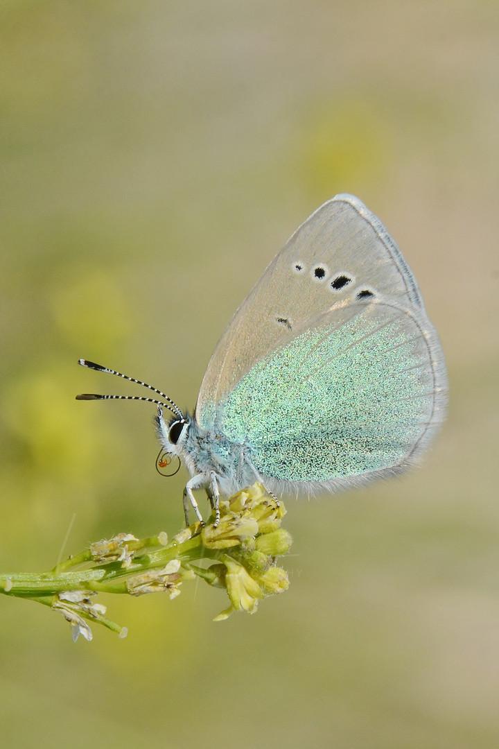 Green Underside Blue (Glaucopsyche alexis)