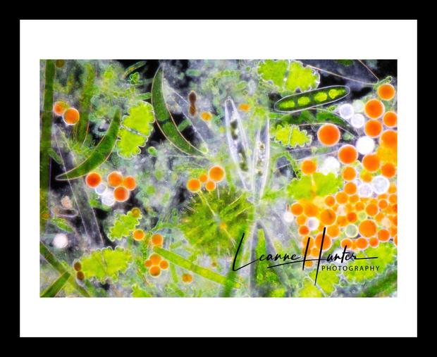 Freshwater Algae Framed Print