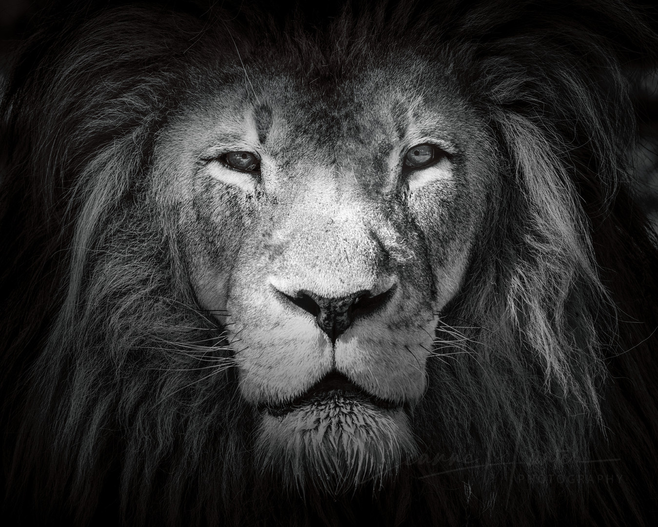 Majestic Lion (Panthera leo)