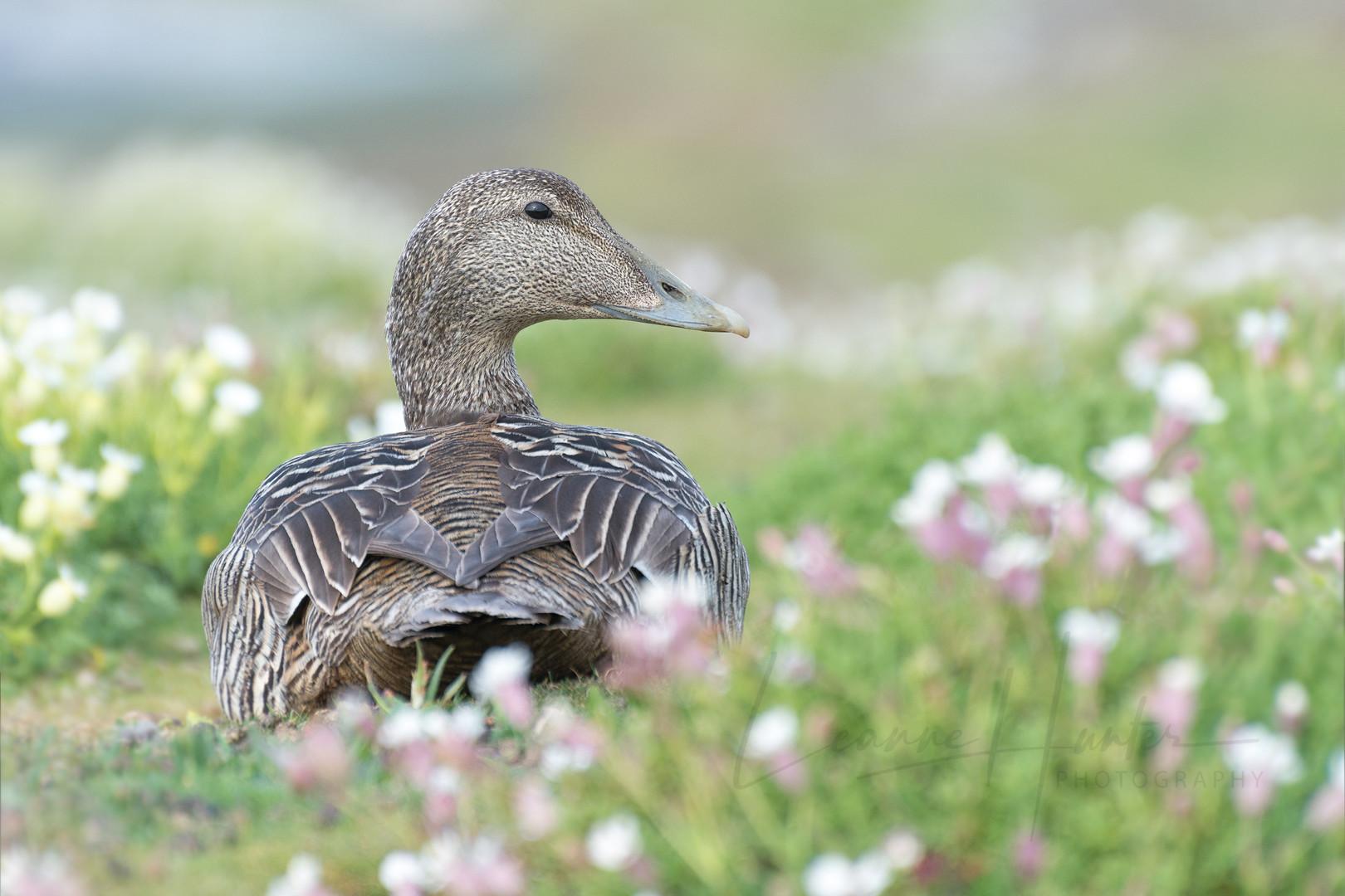 Female Eider Duck (Somateria mollissima)