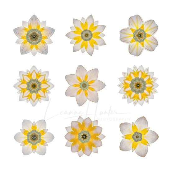 Daffodil Wall Art