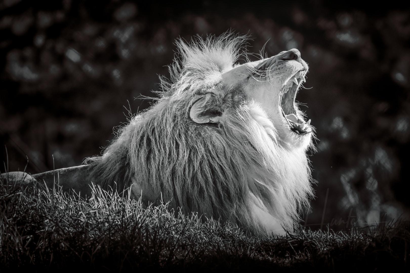 Lion Roar (Panthera leo)