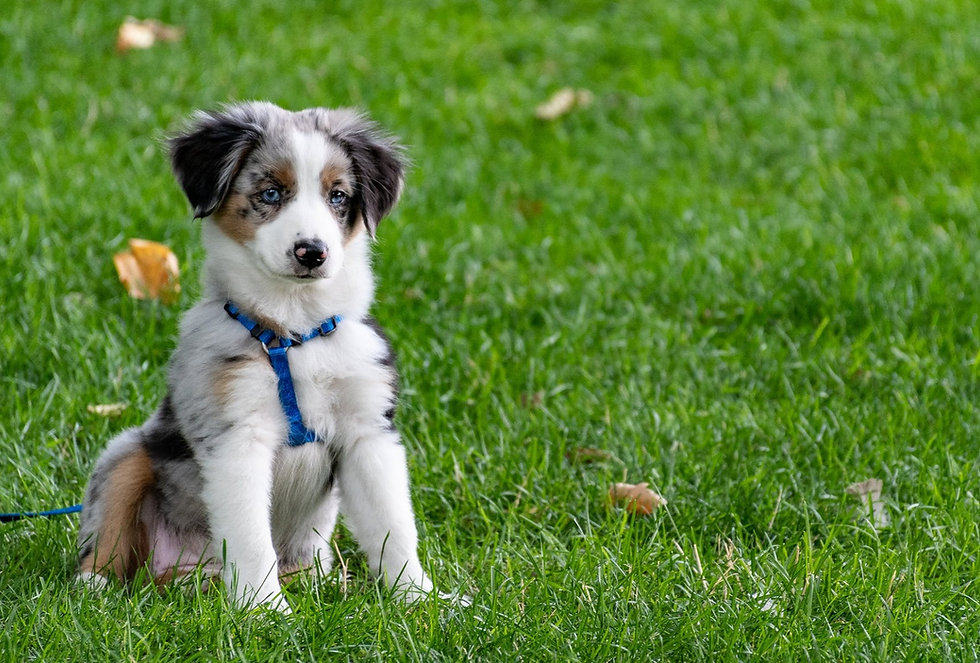A cute dog sitting on the grass wearing a leash
