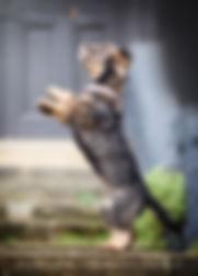 jumping-dacshund-cheshire-pet-photograph