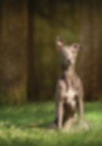 dog photography whippet.jpg