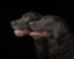 black-labradors.png