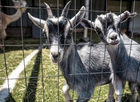 chèvres et biquette chea Beauregard autocueillette