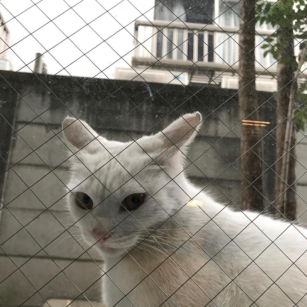 野良白猫・しろたんの図
