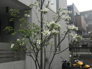オフィス前の白い花。