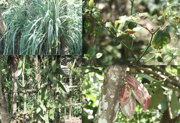 Lemongrass, chilis, cacoa, and vanilla growing on the spice plantation