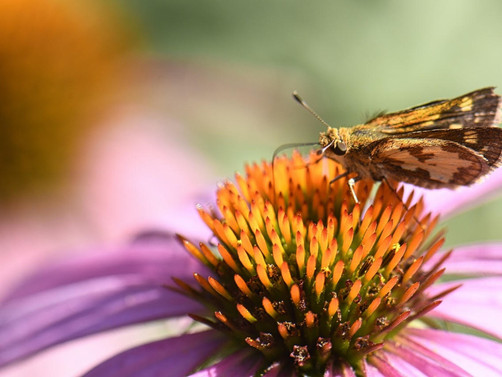 Why Native Plants Part 3 - Do you like butterflies?