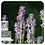 Thumbnail: Lavender Spike, Organic