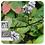 Thumbnail: Peppermint, Organic