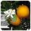 Thumbnail: Sweet Orange, Organic 10ml