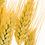Thumbnail: Wheat Germ