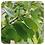Thumbnail: Sandalwood 10%, Organic