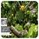 Thumbnail: Ylang Ylang, Organic