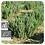 Thumbnail: Rosemary Cineole CT2, Organic
