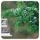 Thumbnail: Juniper, Organic