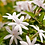 Thumbnail: Jasmine 10%, Organic