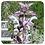 Thumbnail: Clary Sage, Organic