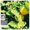 Thumbnail: Bergamot, Organic 10ml