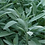 Thumbnail: Sage, Organic