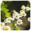 Thumbnail: Roman Chamomile, Organic