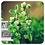 Thumbnail: Sweet Marjoram, Organic