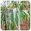 Thumbnail: Eucalyptus Lemon-Scent, Organic