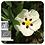 Thumbnail: Cistus (Labdanum), Organic