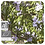 Thumbnail: Rosemary Camphor CT1, Organic