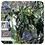 Thumbnail: Litsea, Organic