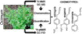 Basil Chemotype Diagram.jpg