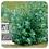 Thumbnail: Eucalyptus Globulus, Organic