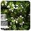 Thumbnail: Thyme Borneol / Savory Thyme, Organic