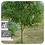Thumbnail: Ravintsara, Organic