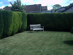 Leylandii hedge with bench