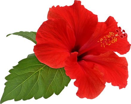 Download-Hibiscus-Transparent-PNG_edited