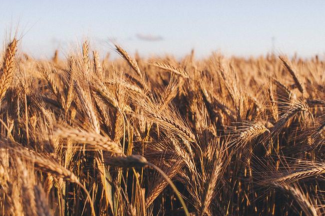 wheat.field.1.jpg