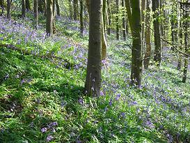 36.SAM_4415 bluebell wood.jpg
