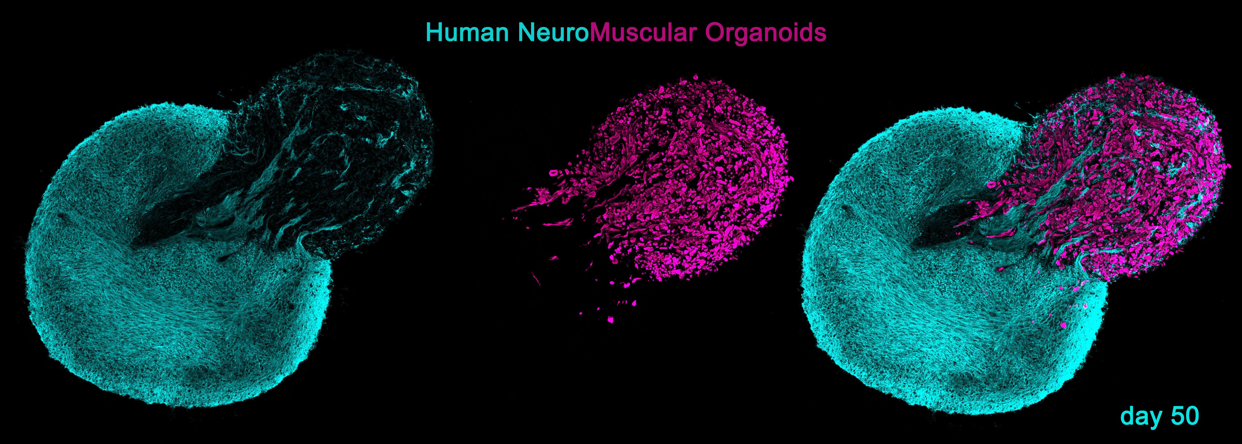 Neuromuscular Organoids