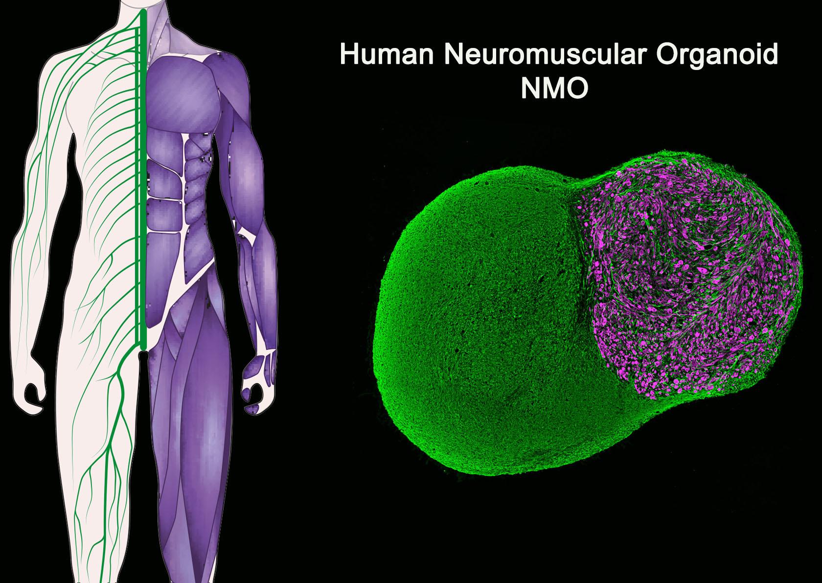 Neuromuscular Organoid day 100