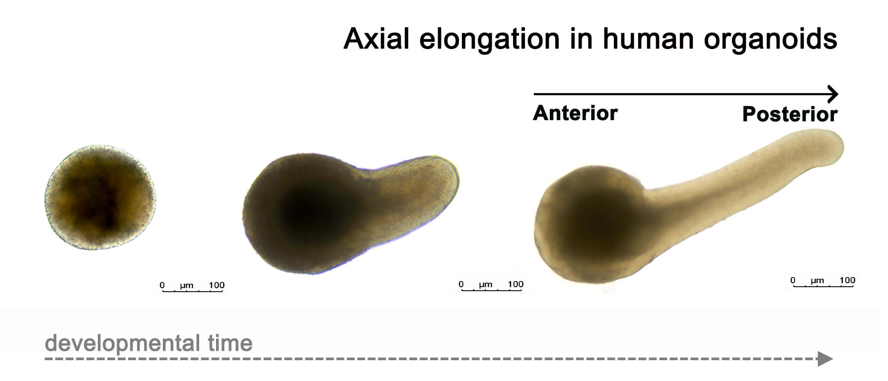 Axial Elongation of Human Organoids