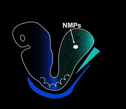 Mouse Embryo Cartoon