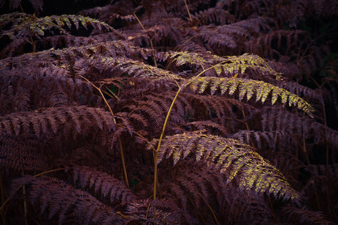 Mamhead Ferns