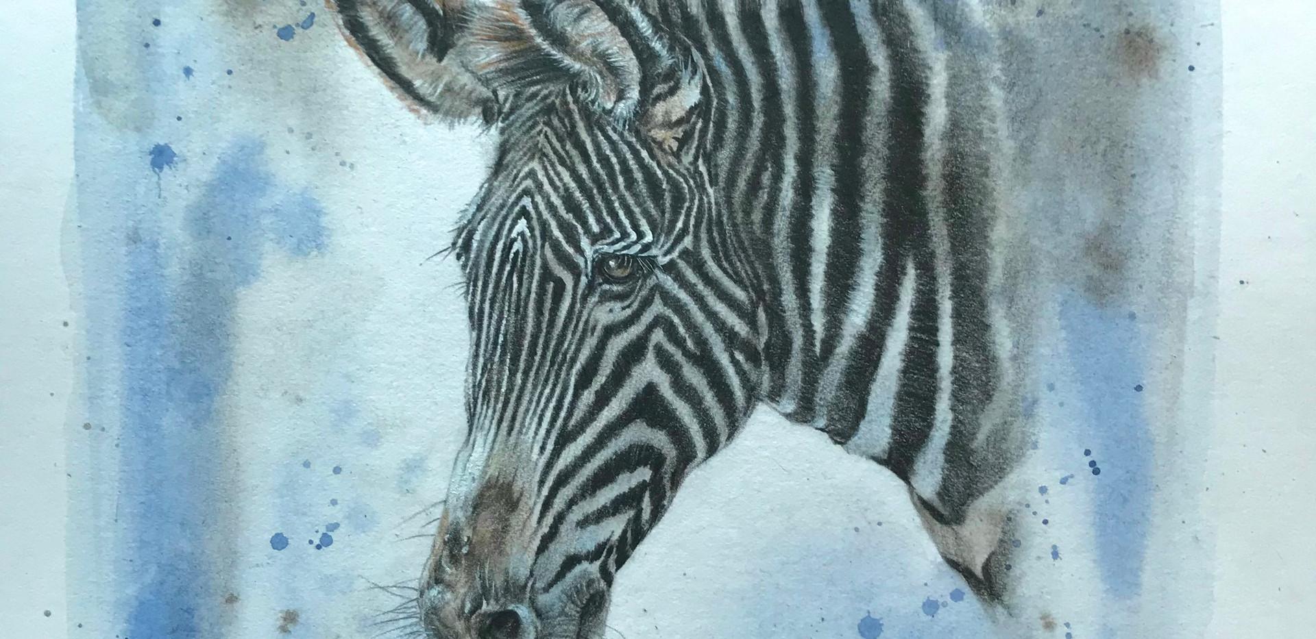 Grevy's zebra.jpg