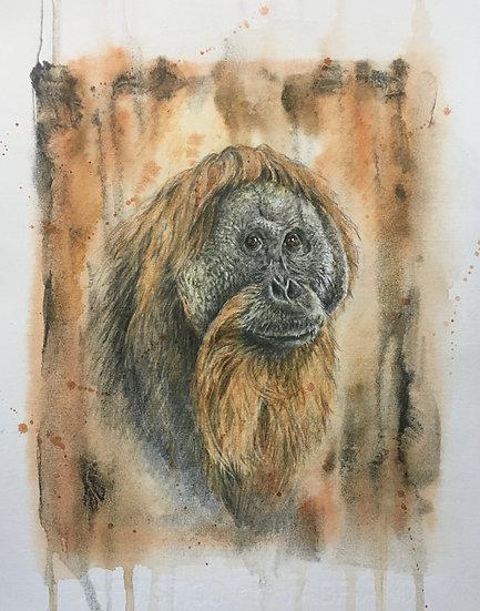 O is for Tapanuli Orangutan