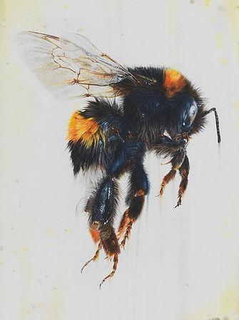 Close up bumblebee